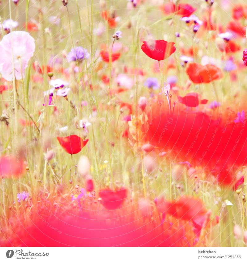 poppyday Nature Plant Spring Summer Beautiful weather Flower Grass Leaf Blossom Wild plant Poppy Garden Park Meadow Field Blossoming Faded Growth Fragrance
