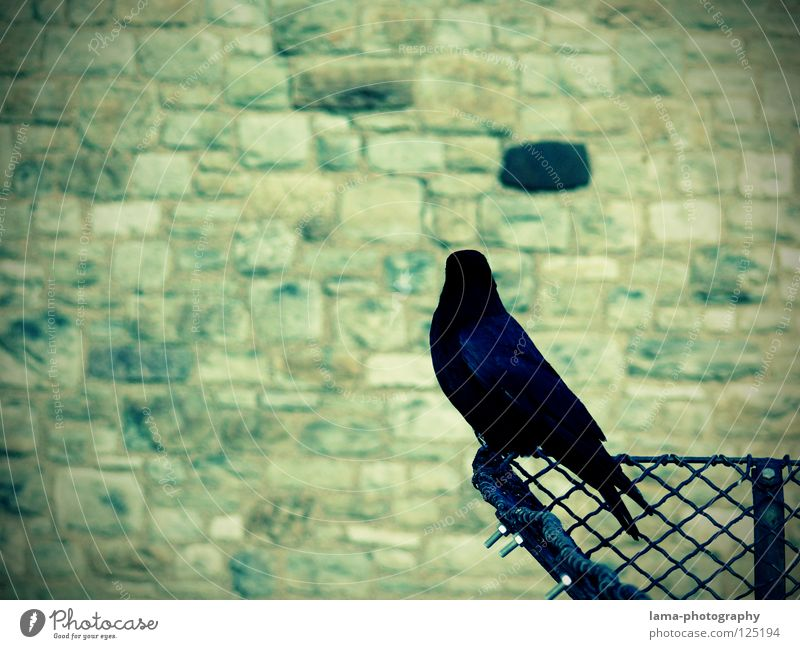 Watching the black brick Wall (barrier) Bird's-eye view Monitoring Protection Guard Raven birds Crow Common Raven Jackdaw Rook Wisdom Fairy tale Vignetting