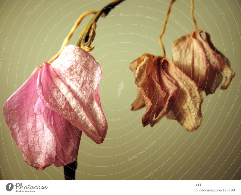 Withered Orchid Flower Blossom Dried up Hang Violet Pink Past Grief Gloomy 3 Plant Transience Distress phalaenopsis lame Old Stalk risp Pair two Death Sadness