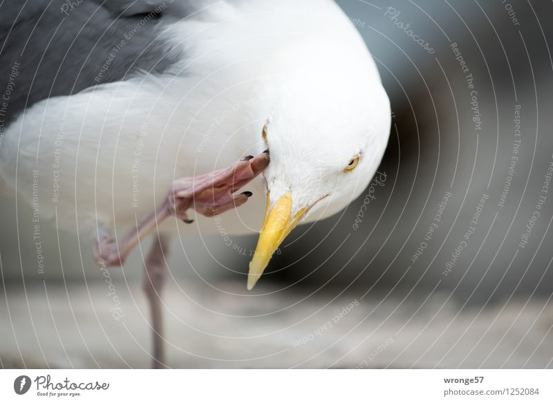 itching Animal Wild animal Bird Seagull 1 Funny Yellow Gray Pink White Gull birds Close-up Colour photo Subdued colour Exterior shot Deserted Copy Space right