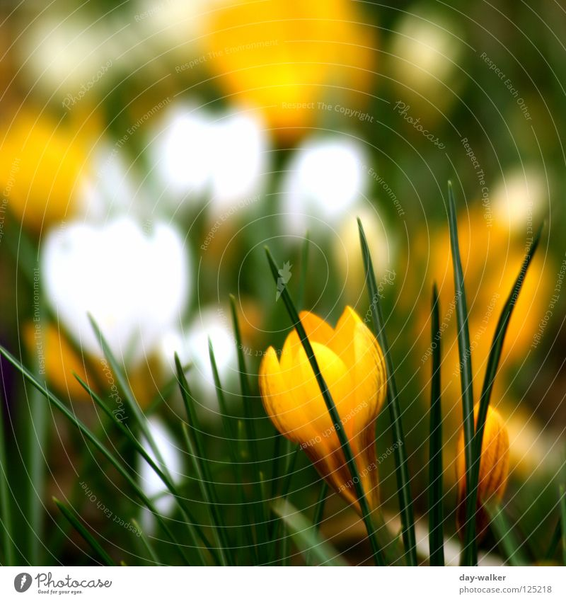 Nature Flower Green Plant Yellow Blossom Spring Depth of field Bud Garden Bed (Horticulture) Wake up Crocus Flowerbed