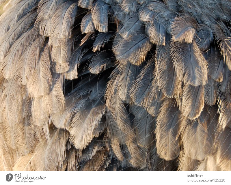 Nanduu puffed up Bird Flightless bird Animal Feather Plumed Fine Gray Background picture Boa Muddled nanduu nandüchen puff up Structures and shapes