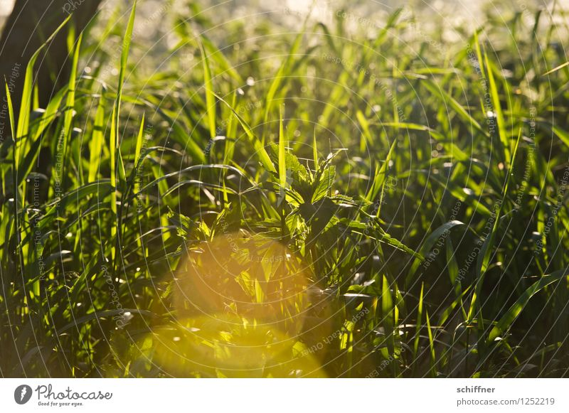 I'd like to have this weed too... Environment Nature Plant Sunrise Sunset Sunlight Beautiful weather Grass Foliage plant Yellow Gold Green Reflection