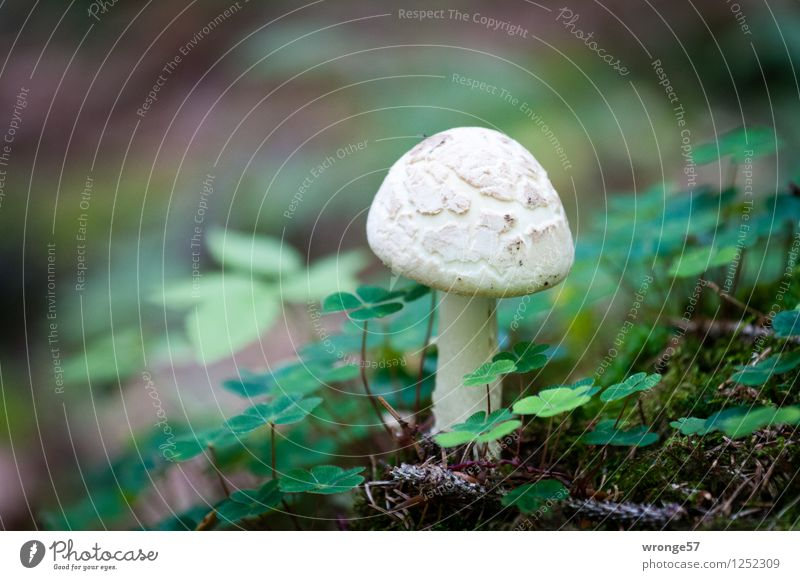 lucky devil Nature Plant Earth Clover Forest Harz Small Natural Brown Green White Mushroom Woodground Cloverleaf Highlands Colour photo Subdued colour