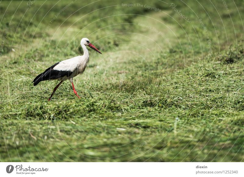 Stork in salad Environment Nature Plant Animal Grass Meadow Wild animal Bird White Stork 1 Natural Swagger Stride Colour photo Exterior shot Deserted Day