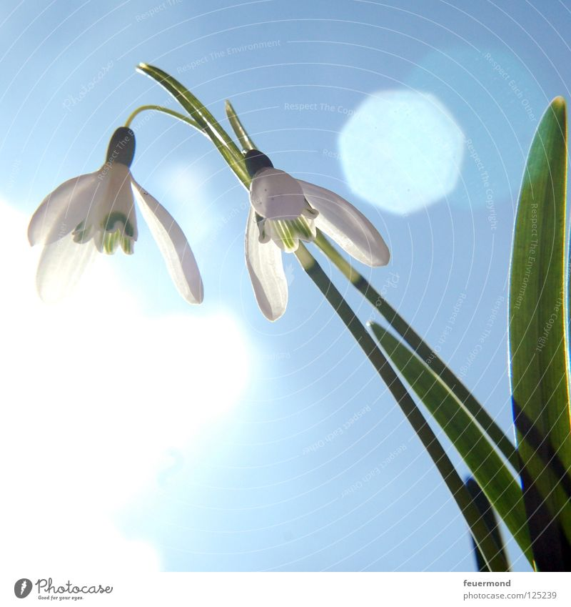 Sun Flower Blossom Spring Snow Wake up Arise Resurrection Snowdrop