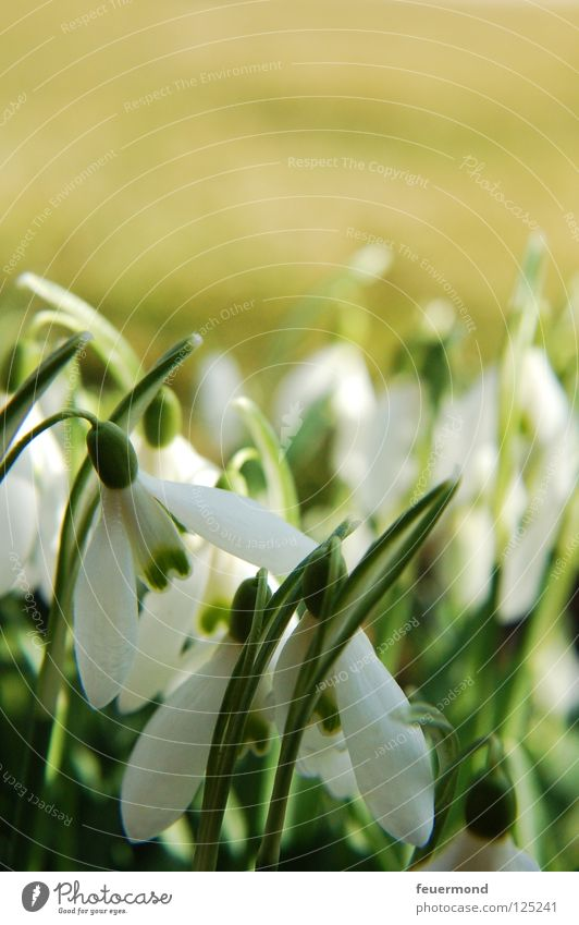 Snowdrops, white skirts... Spring Flower Blossom Wake up Arise Resurrection