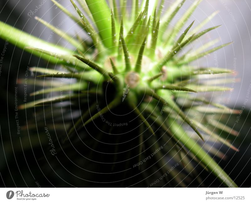 Nature Green Plant Palm tree Thorn Torun