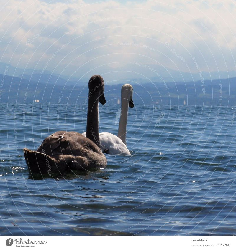 on the other bank Swan White Black Lake Waves Clouds 2 Bird Water Lake Constance Blue Sky Mountain mountain view Float in the water Swimming & Bathing