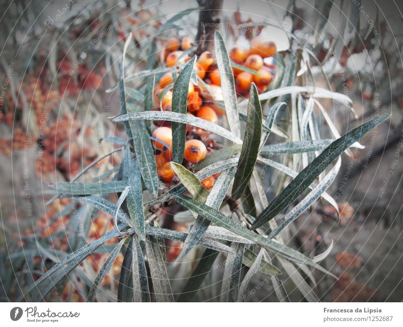 Sea buckthorn in winter Sallow thorn Sallow thorn leaf Healthy Eating Nature Plant Winter Bushes Leaf Agricultural crop Growth Cold Round Juicy Sour Gray Green