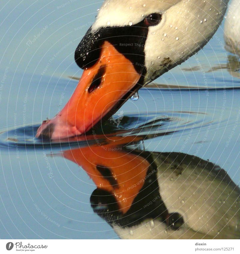 gooseneck mirror Swan Mirror Drinking Reflection Beak Bird Waves Lake Pond White Black Animal Conceited Mirror image Surface Surface of water Fluid Beautiful
