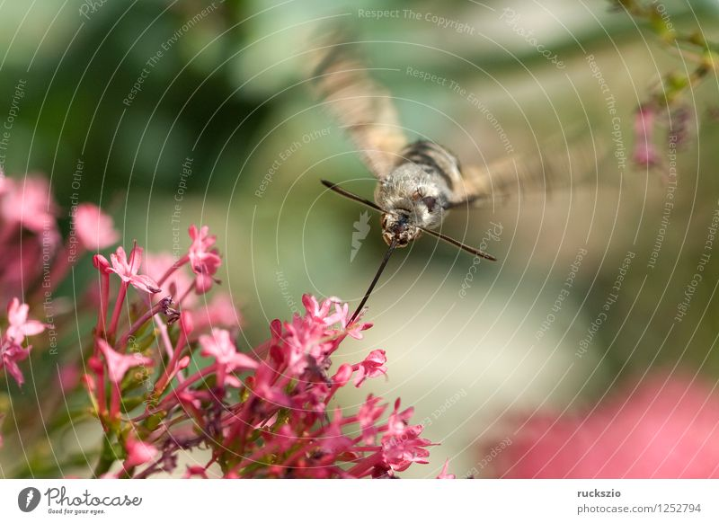 Pigeon tail; macroglossum; stellatarum; Butterfly Flying dove tail pigeon tail spur flower sportflowers Centranthus carp's tail warbler dusting