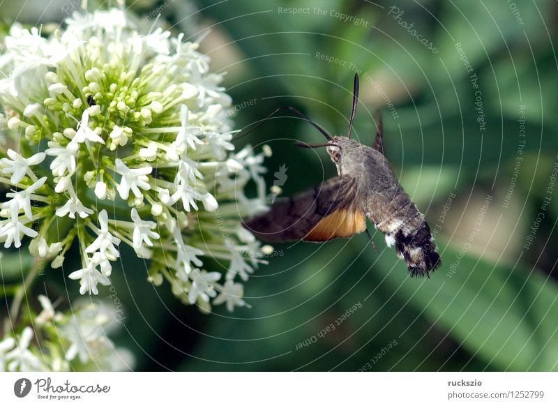 Pigeon tail; macroglossum; stellatarum; Butterfly Flying To feed dove tail pigeon tail spur flower sportflowers Centranthus carp's tail warbler dusting