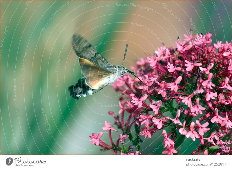 Pigeon tail; macroglossum; stellatarum; Wild animal Butterfly Flying To feed dove tail pigeon tail spur flower sportflowers Centranthus carp's tail warbler