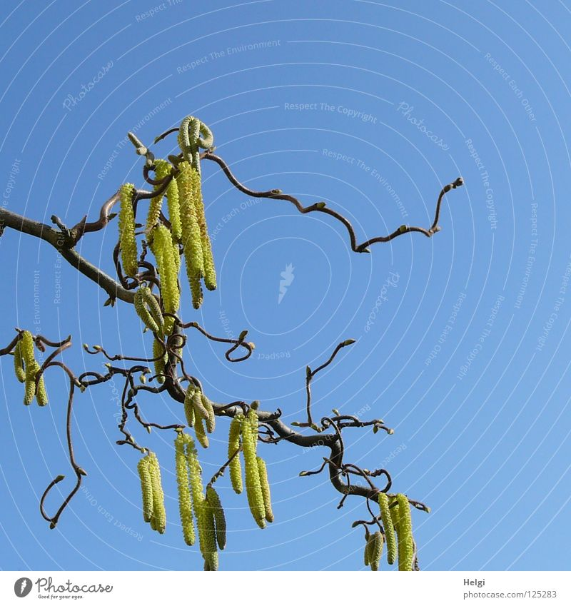 Branch of a corkscrew hazel bush with hazel catkin in front of a blue sky Hazelnut Bushes Tree Plant Branchage Warped Together Curved Side by side Consecutively