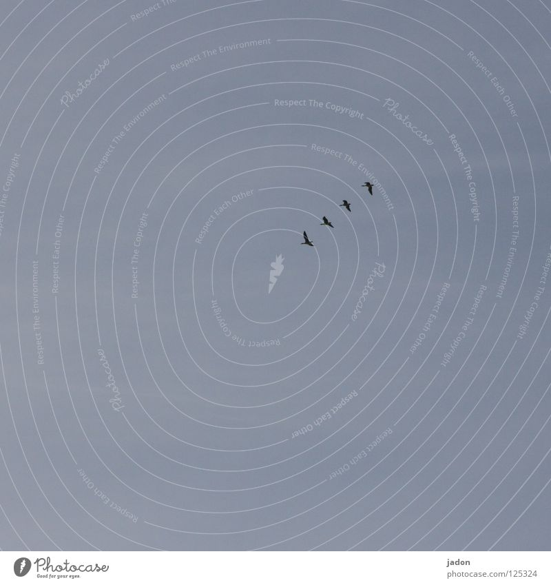 bird migration 4 Bird Goose Wild goose Arrival Come Going Railroad Behind one another Beaded Brandenburg Concentrate Sky the vulture knows Flying Row latecomers