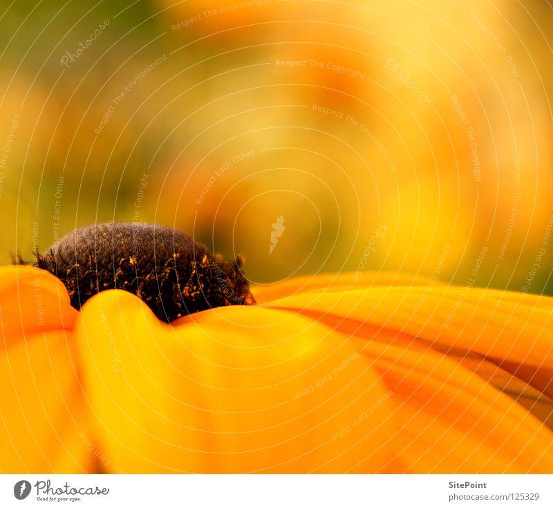 El centro Yellow Flower Middle Purple cone flower Medicinal plant Orange