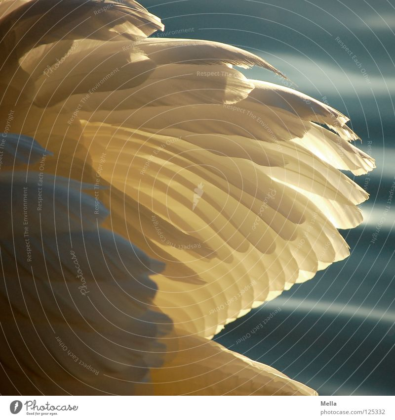 plumage Swan Feather White Bird Lighting Lake Pond Water Wing wings waterfowl Beautiful weather Noble Elegant