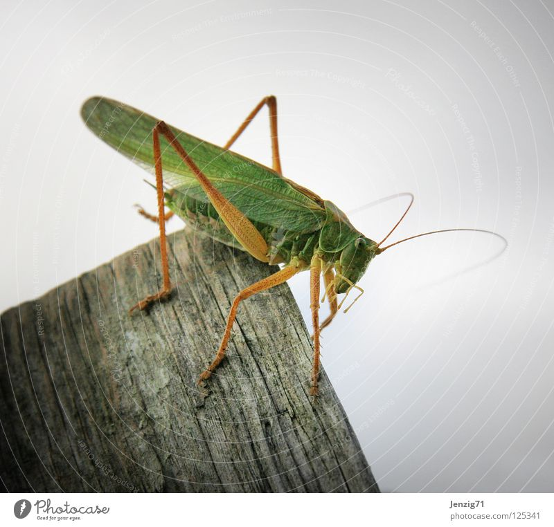 Offside. Great green bushcricket Insect Green Animal Wood Jump grassüfer 6 legs Macro (Extreme close-up) Sit Wait