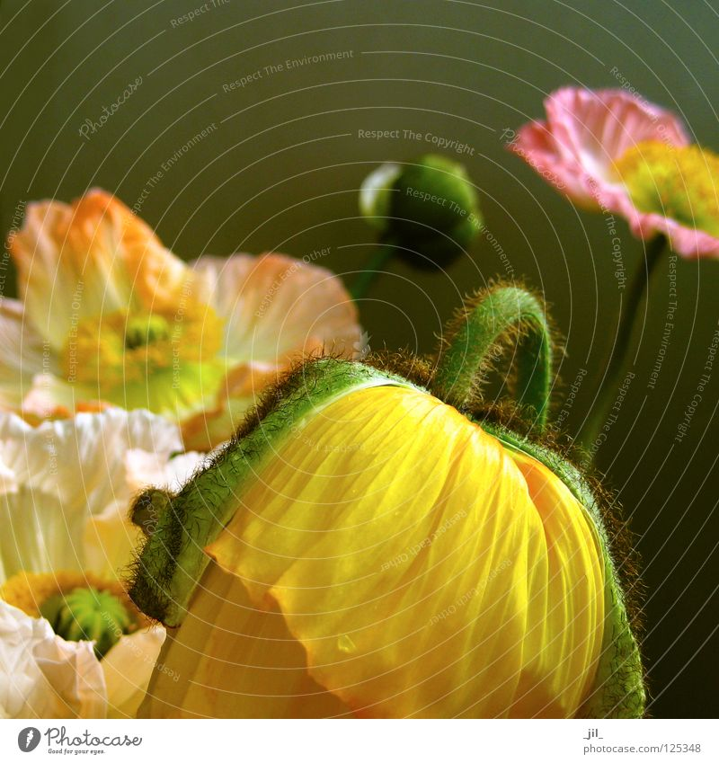 Beautiful White Flower Green Plant Joy Yellow Movement Orange Pink Poppy Ease Exuberance Poppy blossom Khaki