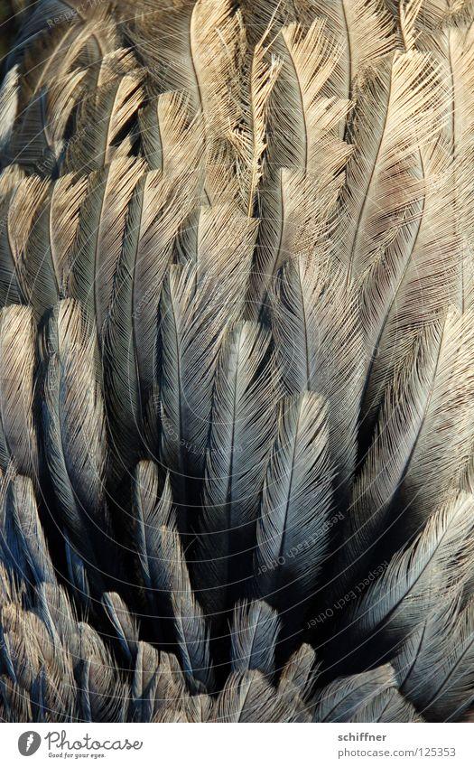 Animal Gray Bird Background picture Feather Fine Muddled Plumed Quill Boa Flightless bird Nandu