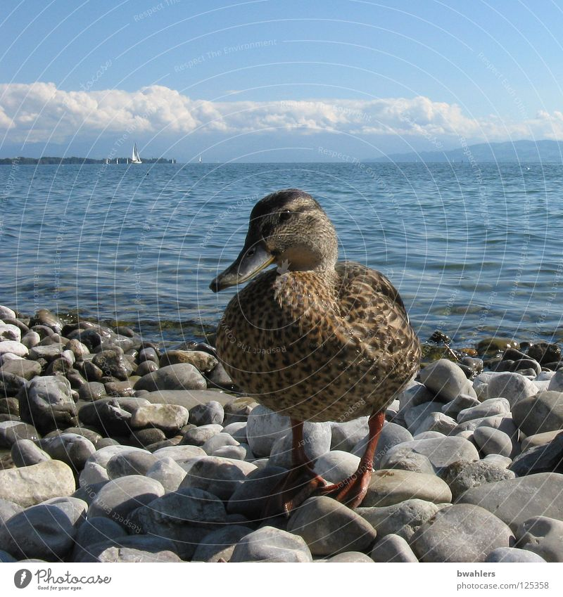 hello duck Lake Gray Clouds Waves Water Bird Duck Coast Stone Blue Sky Mountain Lake Constance