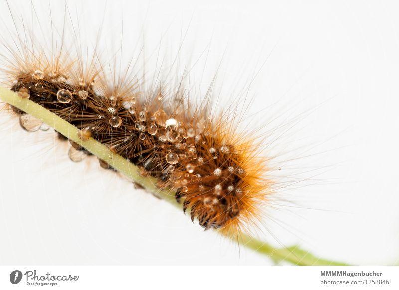 Caterpillar of a brown bear Summer Water Butterfly Insect 1 Animal Disgust Wet Brown Red White Arctia caja Drop Bärenspinner Rain Auburn Point red list