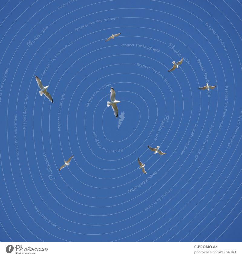 Circling screeching seagulls Animal Wild animal Seagull Gull birds Flock Flying Circle Sailing Flight of the birds Wing Sky Sky blue Cloudless sky Colour photo