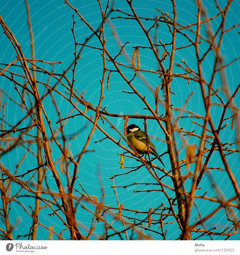 Tit winter (colorful) Bird Tit mouse Crouch Loneliness Tree Bushes Branchage Hazelnut Winter Leafless Spring Yellow Multicoloured Sit Twig Sky Blue