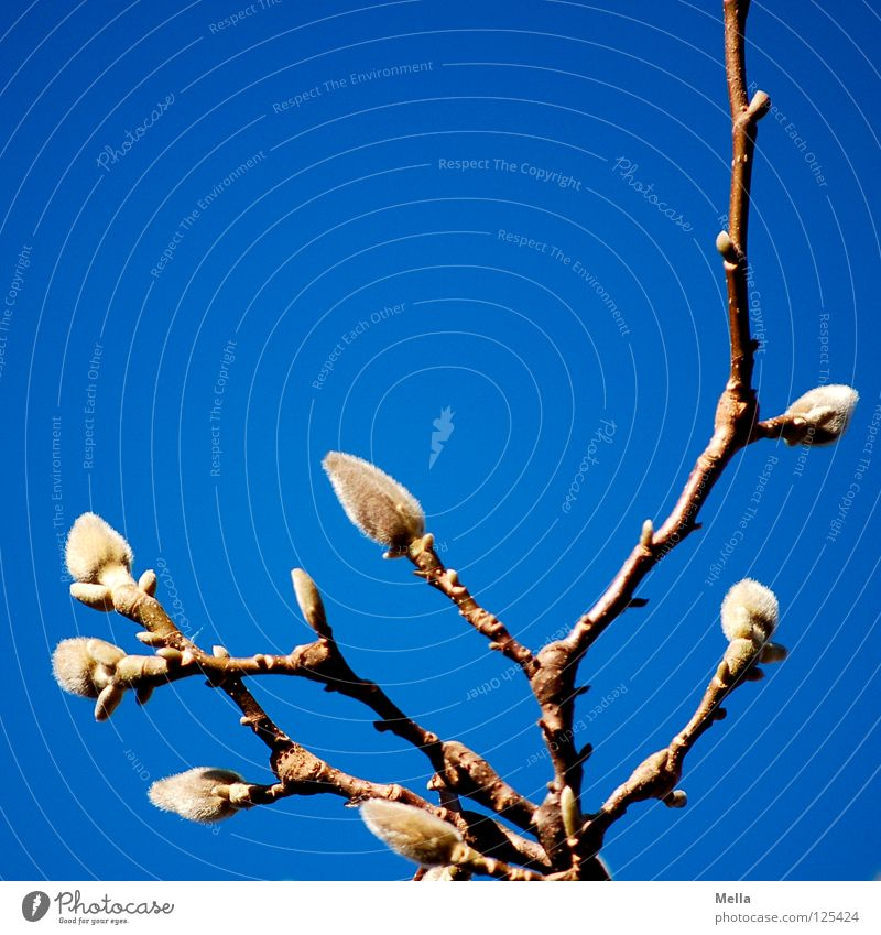 Spring! SECOND Expel Magnolia plants Physics Lighting Air Breathe Park Sky Blue Bud Branch Twig kick Beautiful weather Warmth Pollen
