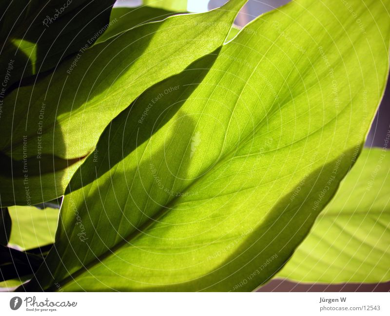 leaves Leaf Green Flower Nature Vessel Light Sun no petal