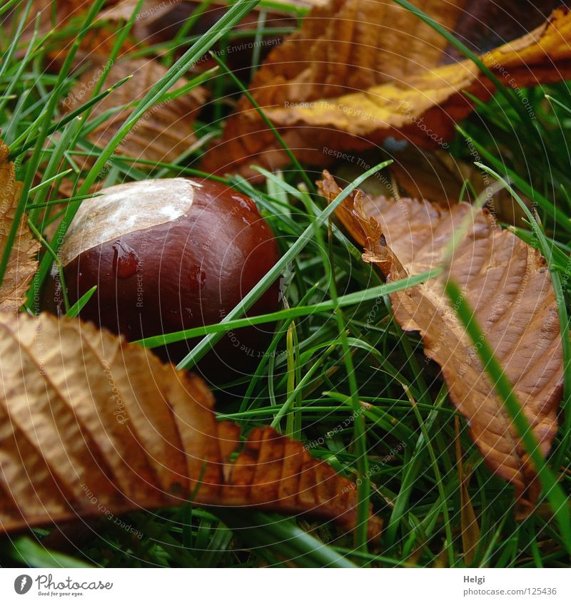 a ripe chestnut lies with leaves on a meadow Autumn September October To fall Brown White Round Wet Drops of water Rain Leaf Stalk Dry Grass Meadow Park