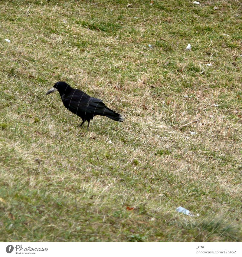Nature Green Winter Black Loneliness Animal Grass Bird Feather Wing Living thing Appetite Mammal Feed Foraging Raven birds