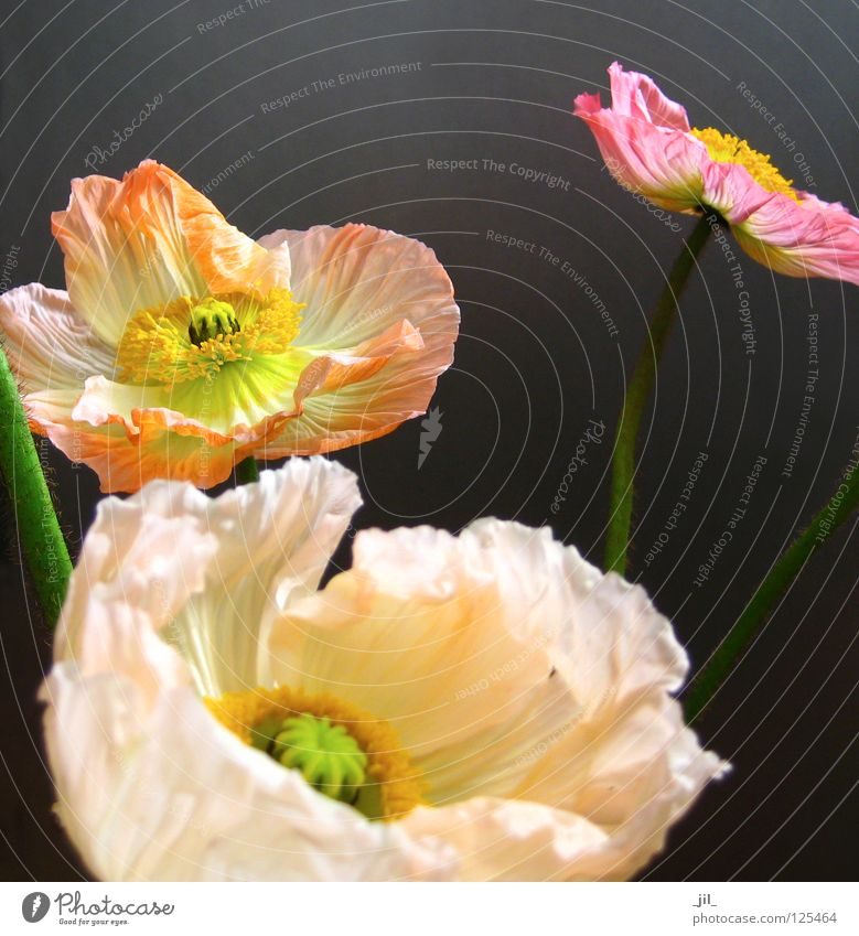 poppy - in the middle of life Beautiful Plant Flower Movement Yellow Gray Green Orange Pink Ease Poppy Poppy blossom Deploy Open Colour photo Neutral Background