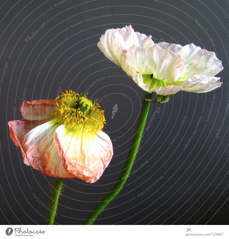 Beautiful Old White Flower Green Plant Yellow Gray Orange Pink Open Transience Poppy Ease Deploy Poppy blossom