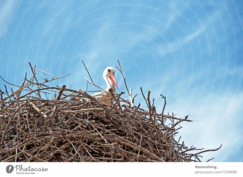 Stork in nest I Environment Nature Sky Clouds Animal Wild animal Bird Geranium 1 Wood Looking Sit Large Tall Blue Brown White Nest Nest-building Eyrie