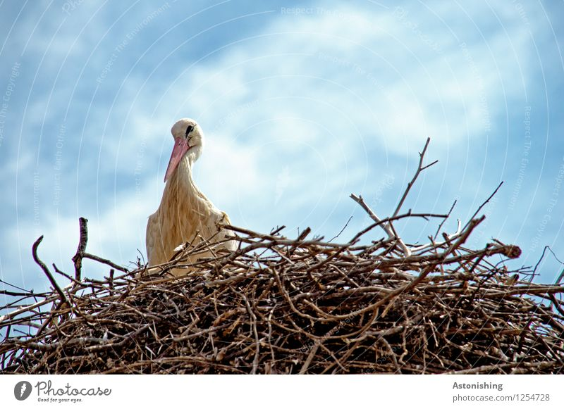 Stork in Nest II Environment Nature Animal Sky Clouds Weather Beautiful weather Wild animal Bird Wing 1 Wood Looking Sit Large Tall Blue Brown White Eyrie