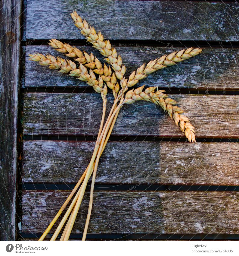 rye palm Food Nutrition Breakfast Organic produce Plant Brown Yellow Gold Rye Barley Field Health care Bundle Baker recipes Nature Colour photo Exterior shot