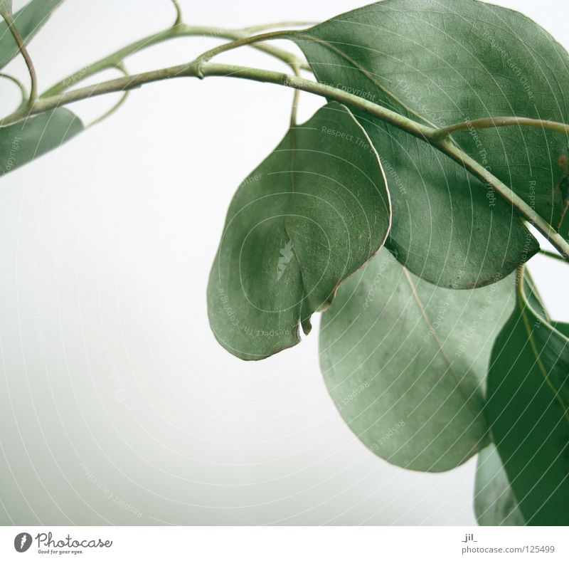 White Green Beautiful Plant Leaf Calm Gray Bright Twig Fragrance Odor Dull Reduce Eucalyptus tree