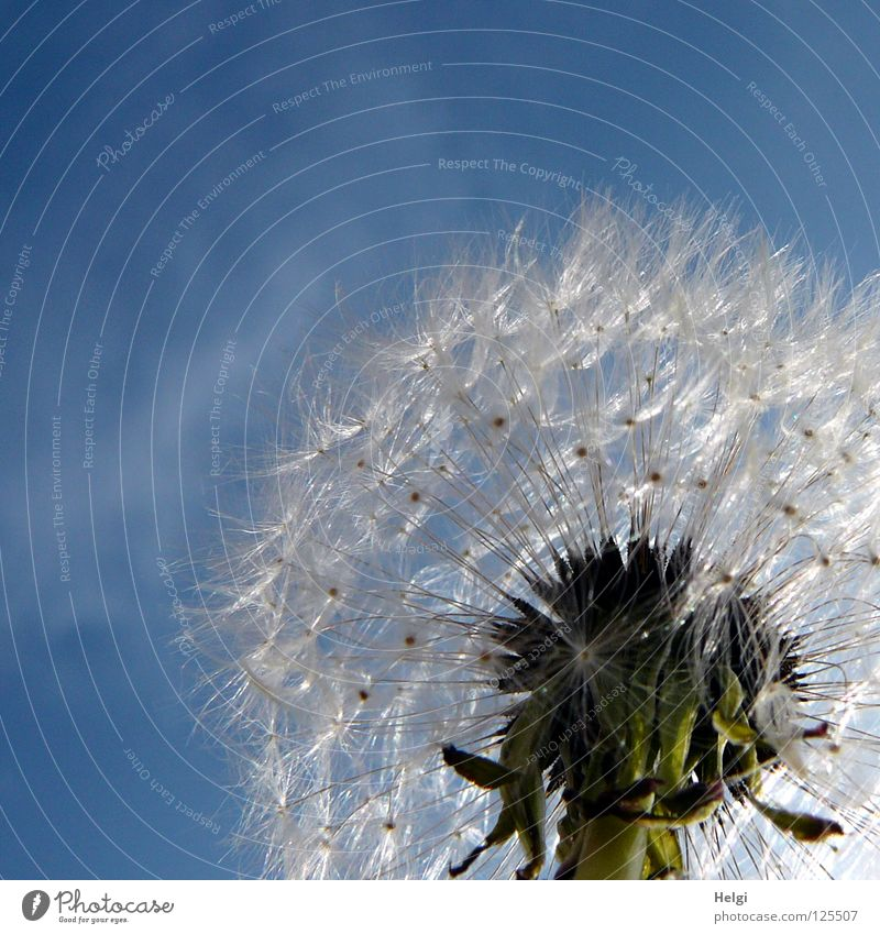 Close-up of a dandelion in sunlight in front of a blue sky Flower Dandelion Blow Multiple Sow Summer Clouds Plant Blossoming Meadow Wayside Growth Grown