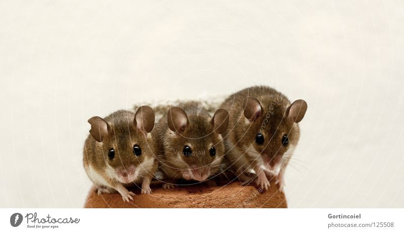 Animal Brown Small Sit Near Animal face Group of animals Pelt Cute Mouse Mammal Paw Pet Rodent Pack Diminutive