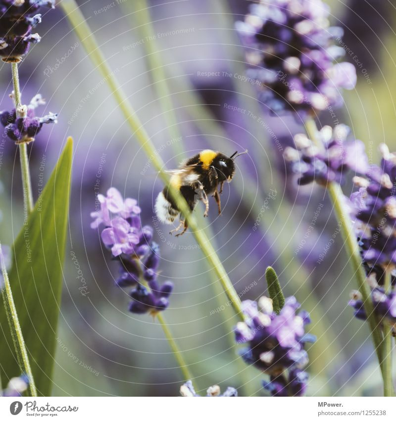 At work Environment Nature Landscape Plant Animal Summer Beautiful weather Flower Grass Bushes Leaf Blossom Foliage plant Park Meadow Flying Bumble bee Lavender