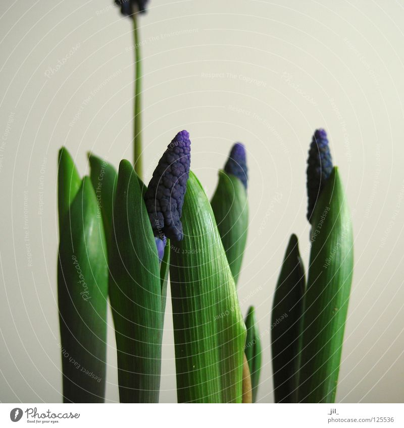 Beautiful Green Blue Plant Spring Gray Sand Beginning Growth Level Violet Beige Sheath Scale Maturing time Length