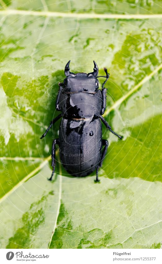 The antlers are still growing Beetle 1 Animal Lie Glittering Green Black Stag beetle Insect Symmetry Leaf green Regen County Wet Feeler Macro (Extreme close-up)