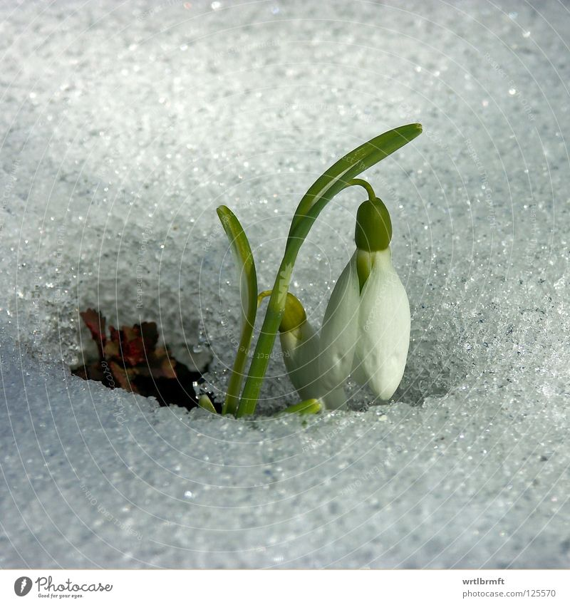 Snow meets bells Winter Nature Plant Spring Ice Frost Flower Blossom Blossoming Growth Bright Cold New Green White Snowdrop Stalk Surface Colour photo Close-up