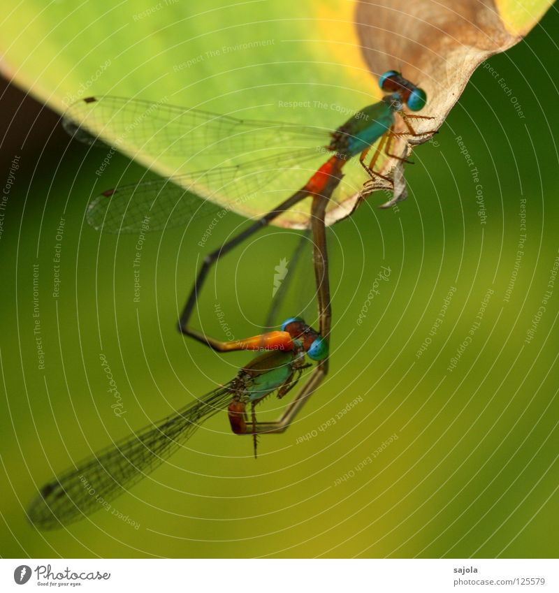 Nature Green Animal Orange Heart Pair of animals Wild animal Wing Insect Thin Turquoise Intimacy Delicate Alliance Dragonfly Bright green