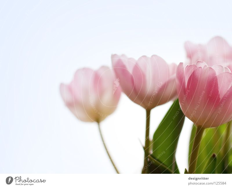Beautiful Plant Flower Spring Blossom Pink New Delicate Trust Blossoming Tulip Transparent Fragile Innocent May