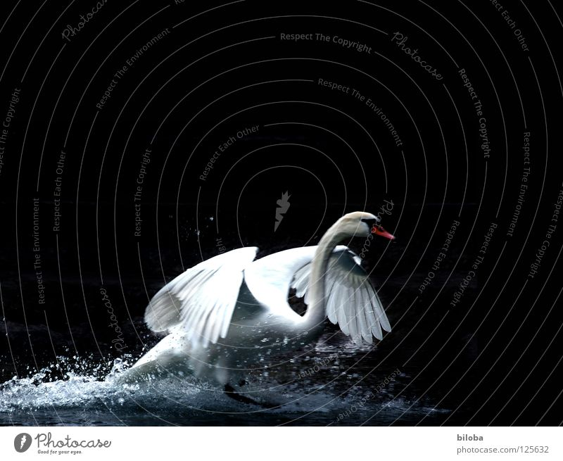 Swan lands in the water against a dark background landing Poultry Long Soft Graceful Elegant Grand piano Black conceit White birds White crest Body of water