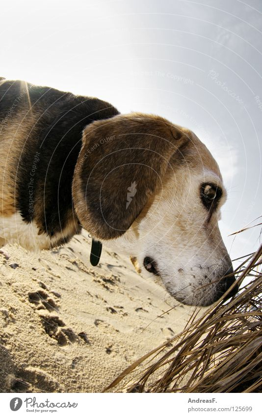 Dog on the beach Beach Beagle Pet Animal Summer Winter Lake Common Reed Tracks Spy Search Snout Lop ears Tricolour Pelt Animal portrait Hound Dazzle