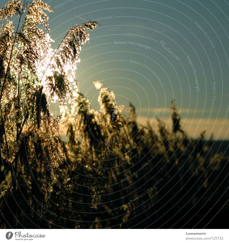 sunshine Grass Common Reed Blade of grass Light Sunset Evening sun Physics Glittering Glow Goodbye To console Longing Beautiful Hope Winter Transience Sky Plant
